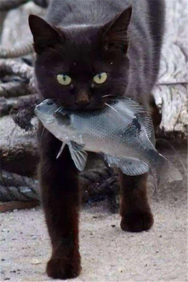 猫咪爱吃鱼?五大迷思解析